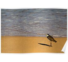 Plover at Pebbly Beach Poster