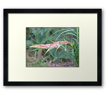 The Raw Prawn Framed Print