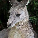 Australian Eastern Grey Kangaroo by Dave Cauchi