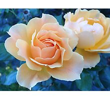 Portland Roses Photographic Print