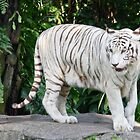 White tiger by Coloursofnature