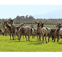 So Curious - Deer - Southland Photographic Print
