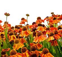 Orange Echinacea by John Butler