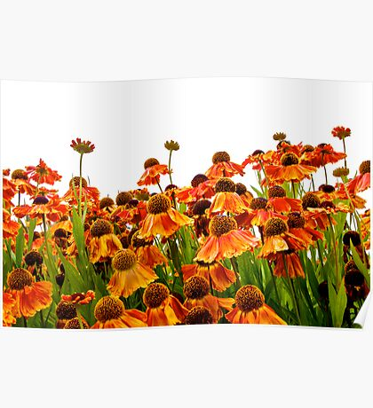 Orange Echinacea Poster