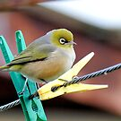 The Pegs & Eye - Silvereye - NZ by AndreaEL