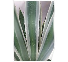 Variegated Agave with Water Droplets Poster
