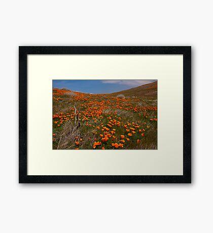 Desert Poppies Framed Print