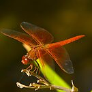 Orange Dragonfly by photosbyflood