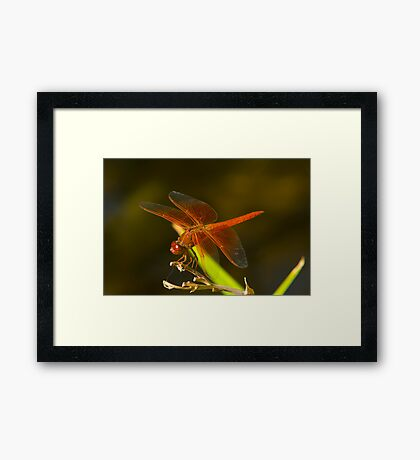 Orange Dragonfly Framed Print