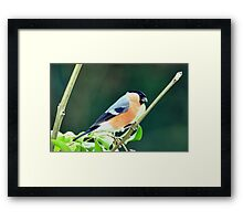 Male Bullfinch Framed Print