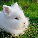 Angora Rabbit by Steve  Liptrot