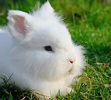 Angora Rabbit by Steve  Liptrot