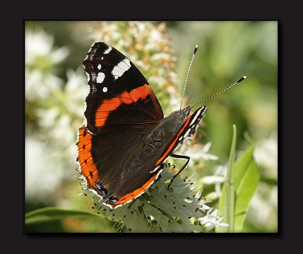 Red Admiral butterfly by Rivendell7