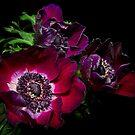 Blood Red Anemones by Ann Garrett