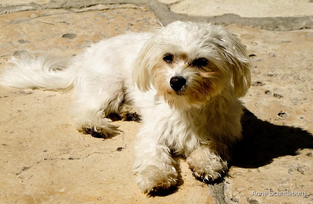 puppy by Anne Scantlebury