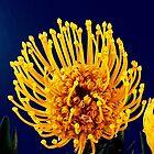 Protea Bloom by AlyZen