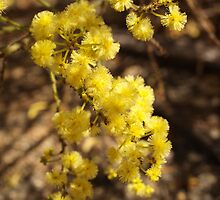 Acacia truncata (2) by kalaryder