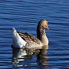 Graylag Goose  by Don Siebel