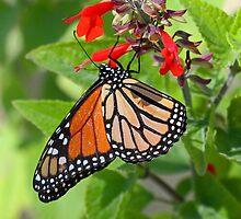 Monarch at Apollo beach by jozi1