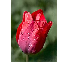 First tulip of the season Photographic Print