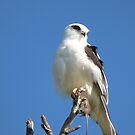 West Australian Birds by kalaryder