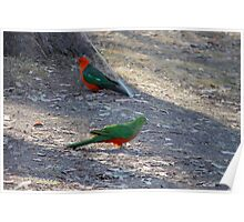 King Parrots - After TOO many years bordering on empty, Lake Eildon is on the rise, almost at full capacity shown here.   Poster