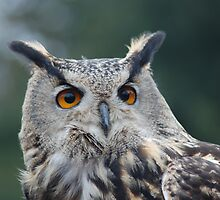 Male Owl by Foley