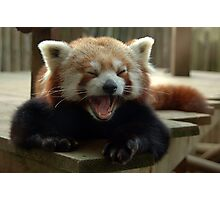 Yawning Himalayan red panda Photographic Print