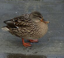 Duck waddling down the path by Stan Daniels