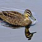 Black Duck by Rick Playle