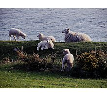 Sheep With Lambs on the Rugged Remote Coastline In South Devon Photographic Print