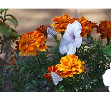 Two amongst the Marigolds Photographic Print