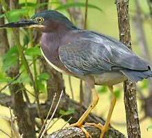 Green Backed Heron With Breeding Plumage by Kathy Baccari