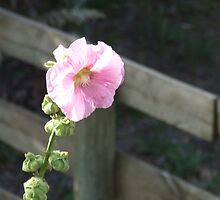 Pink Hollyhock by CarmenD