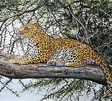 Male African Leopard relaxed on tree  by Mutan