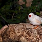 White Zebra Finch by Robin Webster