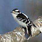 Downy Woodpecker - Boybird by Heather Pickard