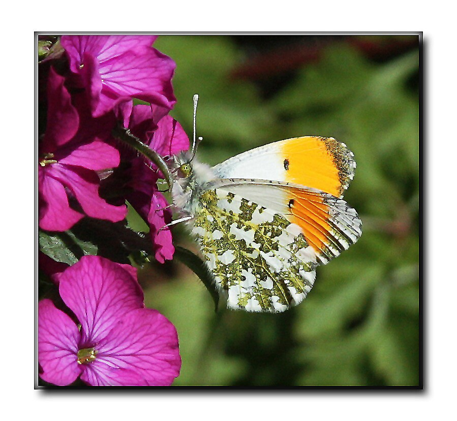 Orange tip butterfly on Honesty flowers by Rivendell7