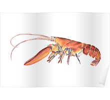 Northern Lobster (Homarus americanus) Poster