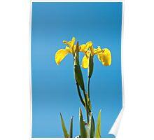 Plant, Wild flower, Yellow Flag , Iris pseudacorus Poster