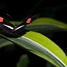 Postman (Heliconius melpomene) by Robin Webster