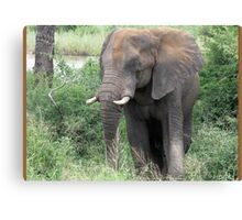 The Elephant {Loxodonta Africana} Canvas Print