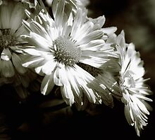 Black & White Dasies by woodnimages