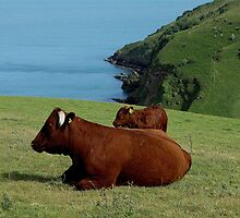 South Devon Ruby Red Cow And Calf On Remote South Devon Coast. by richard wolfe