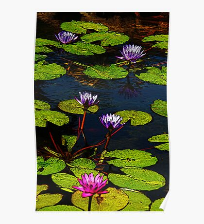 Purple and Pink Water Lilies Poster