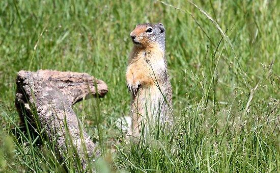 Watcha Doin? (Columbian Ground Squirrel) by Leslie van de Ligt