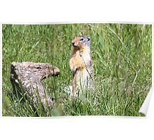 Watcha Doin? (Columbian Ground Squirrel) Poster