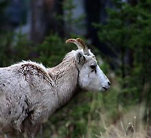 Drippy Horns by Alyce Taylor