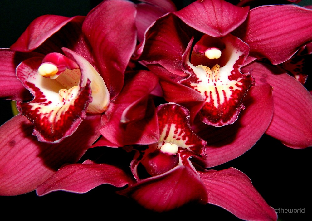 Birthday Orchids - 1  ^ by ctheworld