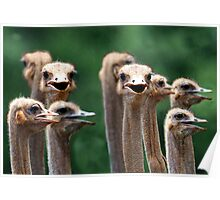 I SAY NO 6! - AT THE OSTRICH RACE - Struthio camelus Poster